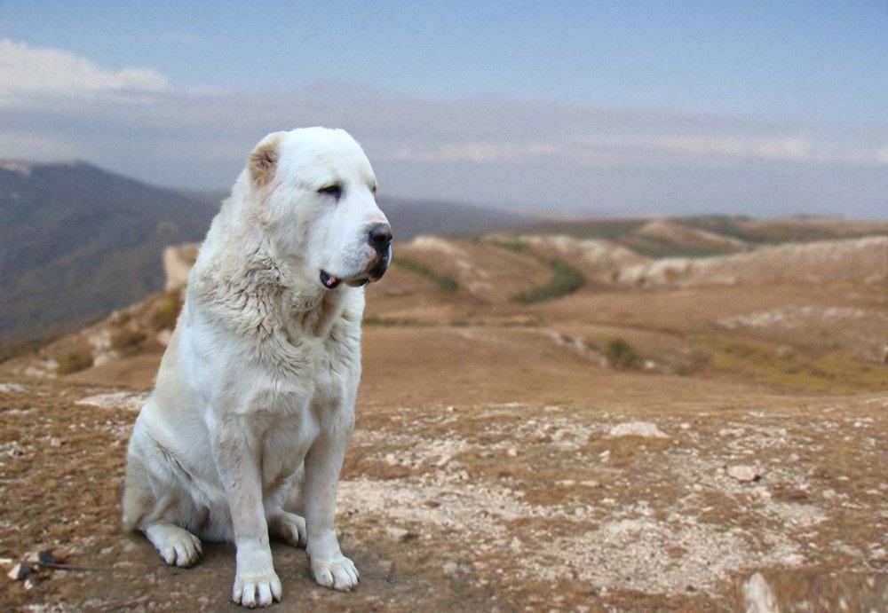 собака сао фото и описание