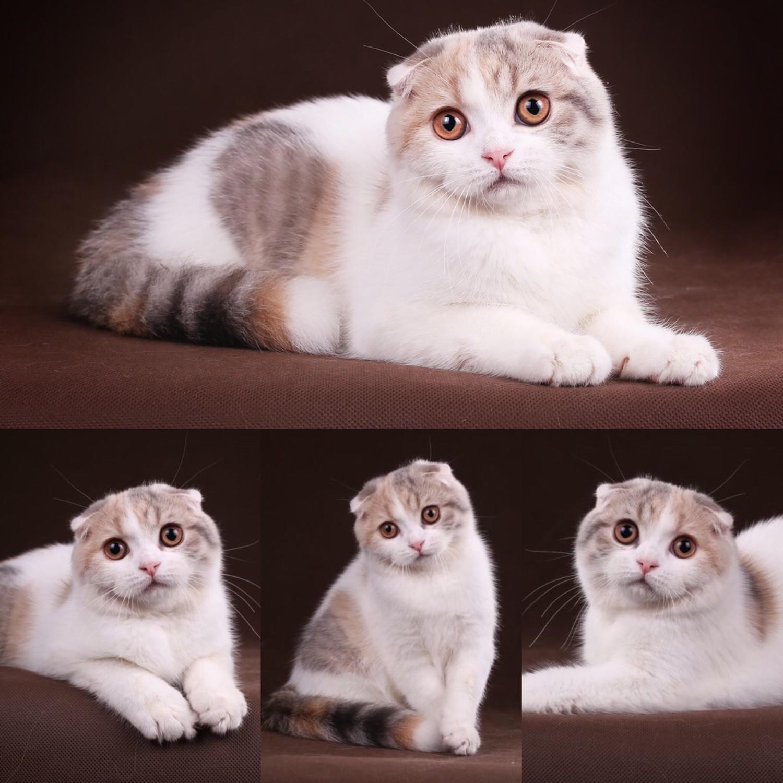 окрасы шотландских кошек картинки и название источник неповторимой