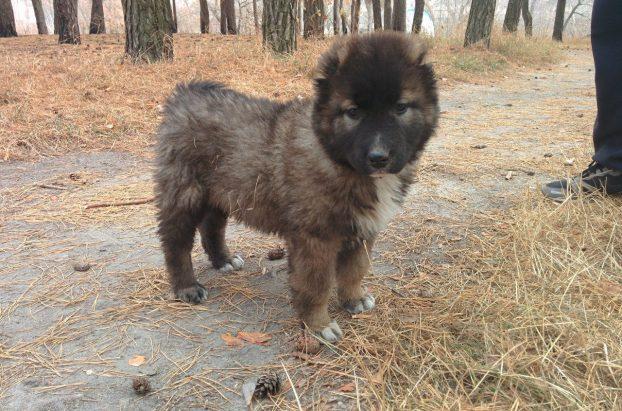 щенок кавказской овчарки фото 1 месяц