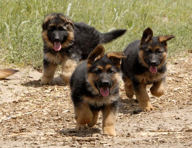 Немецкая овчарка - фото щенков