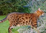 Кошка, похожая на леопарда