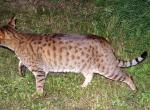 Кошка табби похожа на тигра