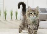 Котенок мейн-кун в 3 месяца