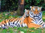Клички тигров и львов