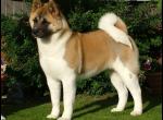 Порода собаки Хатико
