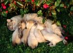 Эклампсия у кошек