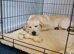 Приучение щенка или собаки к клетке