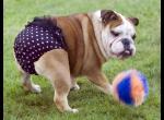 Сколько длится течка у собак?