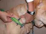 Лимфома у собак: симптомы и лечение