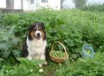Собака в саду - как обезопасить и животное, и сад