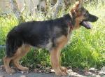 Фото щенка немецкой овчарки в 5 месяцев