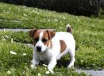 Джек-рассел-терьер фото щенка