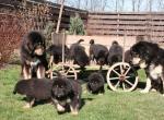 Тибетский мастиф с щенками