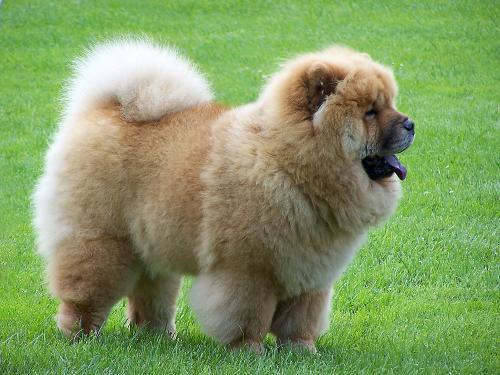 пушистый пес порода