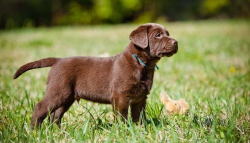 Шоколадный лабрадор - фото щенка