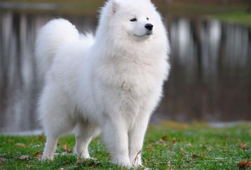 Пушистые породы собак -самоед