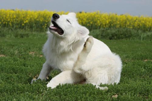 что делать, если собака чешет голову и уши