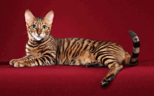 Кошка, похожая на тигра