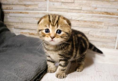 Фото шотландского котенка в 1 месяц