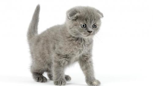 Шотландский котенок - 2 месяца