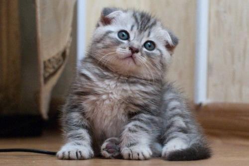 фото котов шотландских