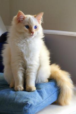 Породы больших домашних кошек
