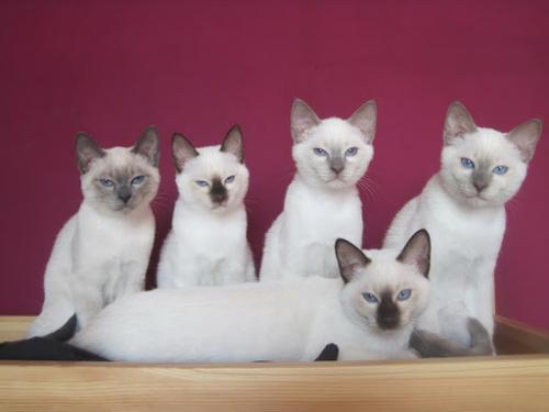 Окрасы тайских кошек