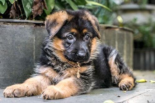 Стоимость щенка немецкой овчарки