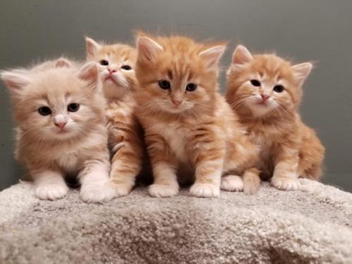 Фото сибирских кошек и котов