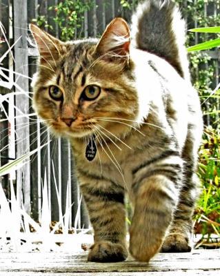 Кошки без хвоста