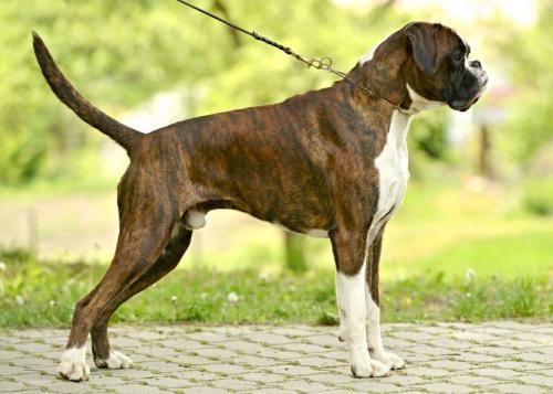 популярные породы собак в сша