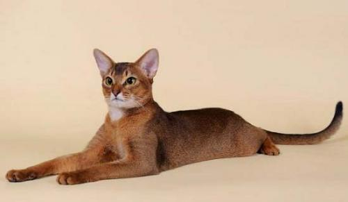 фото абиссинского котенка