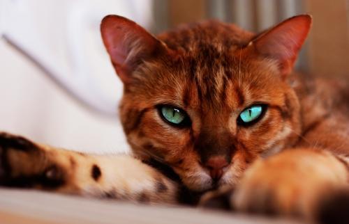 Фото бенгальская кошка леопардовый окрас