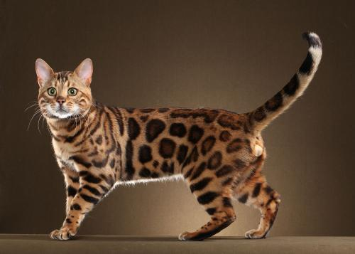 бенгальская кошка описание породы цена