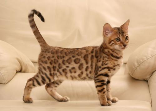 Фото котенка бенгальской кошки