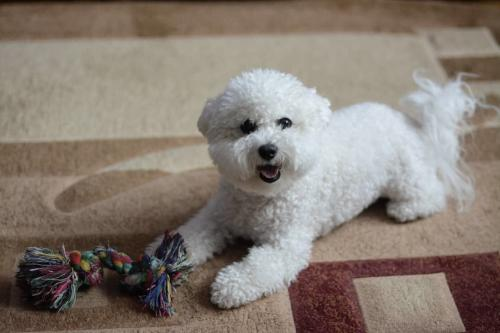 Фото щенка Бишон фризе