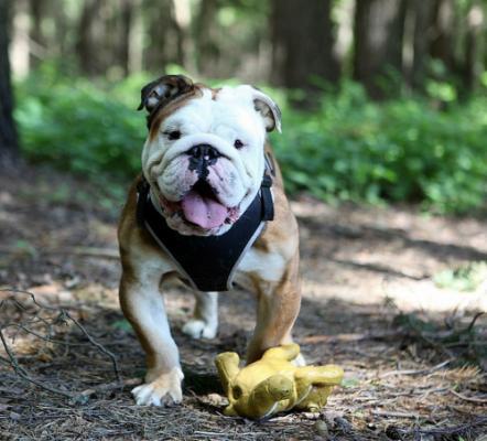 Фото щенка английского бульдога
