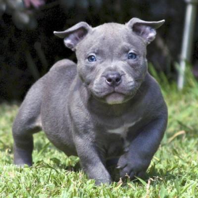 Американский Булли - фото щенка