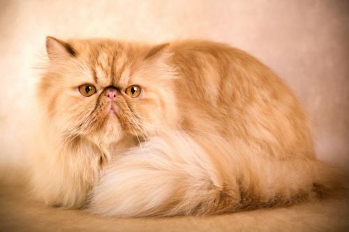 Маленькие породы домашних кошек с фотографиями