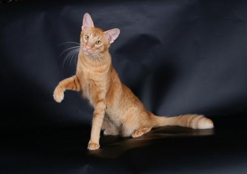 Самые маленькие породы домашних кошек с описаниями