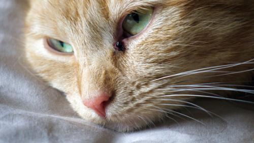Калицивироз у кошек - симптомы, причины и лечение