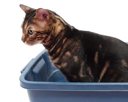 Запор у кошек - причины, симптомы и лечение