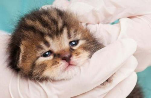 Симптомы чумки у кошек