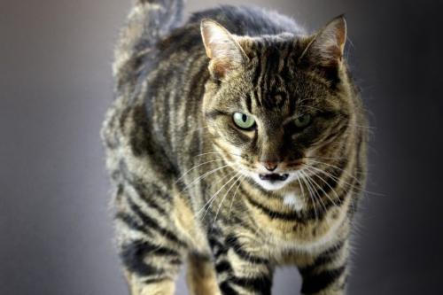 Почему кошка рычит