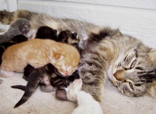 Календарь беременности у кошек