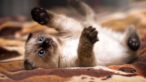 Фото и описание породы сиамской кошки