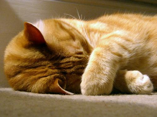 Сколько часов спят кошки