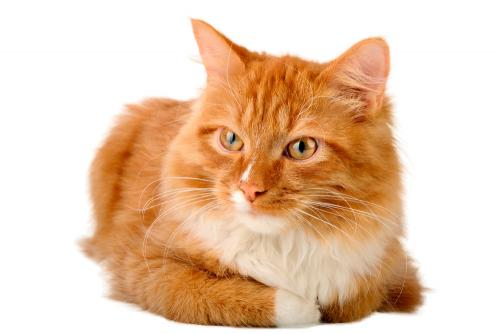 О чем думают кошки - как понять кошку?