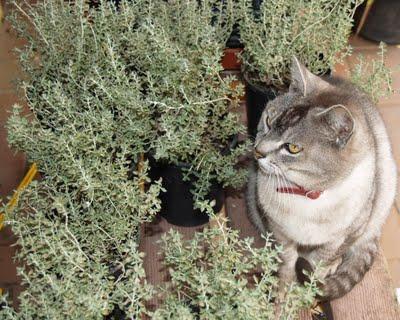 Почему кошки любят валерьянку&