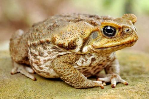 Тростниковые жабы в Австралии - корм для кошек